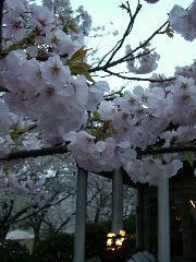 モアナコーストの桜