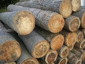 伐採されたヤシの木